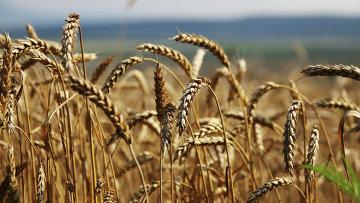 Уборка зерновых . Архивное фото