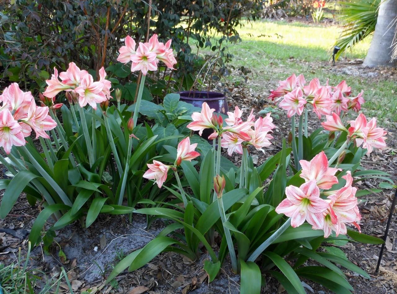 Лилия украсит ваш сад