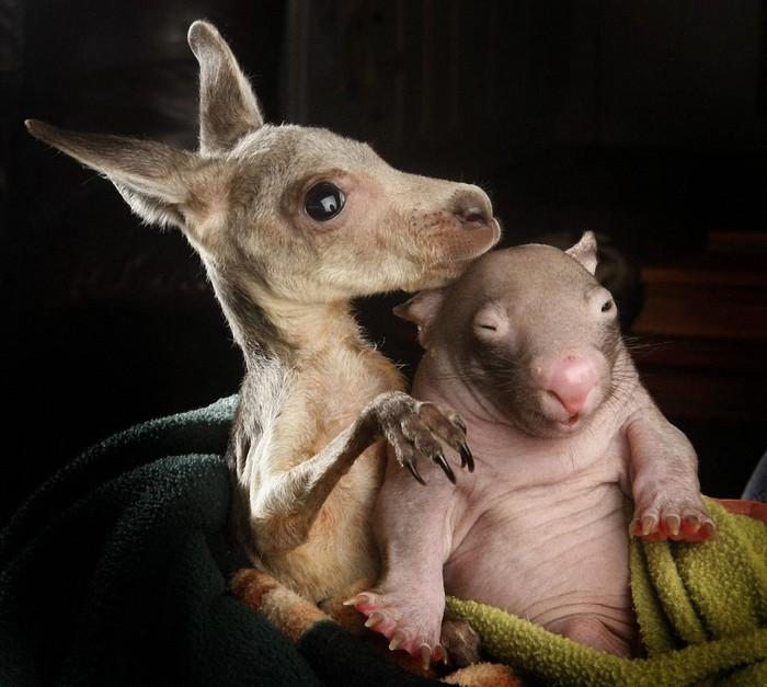 кенгуру детеныши фото