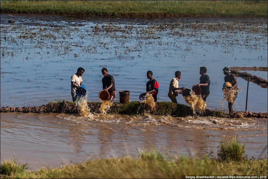 Зачем эти люди вычерпывают ведрами пруд