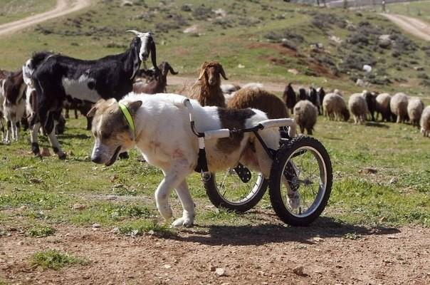 """Этот пес живет в Иордании, в переводе его имя означает """"белый"""" животные, история, пес, факты"""