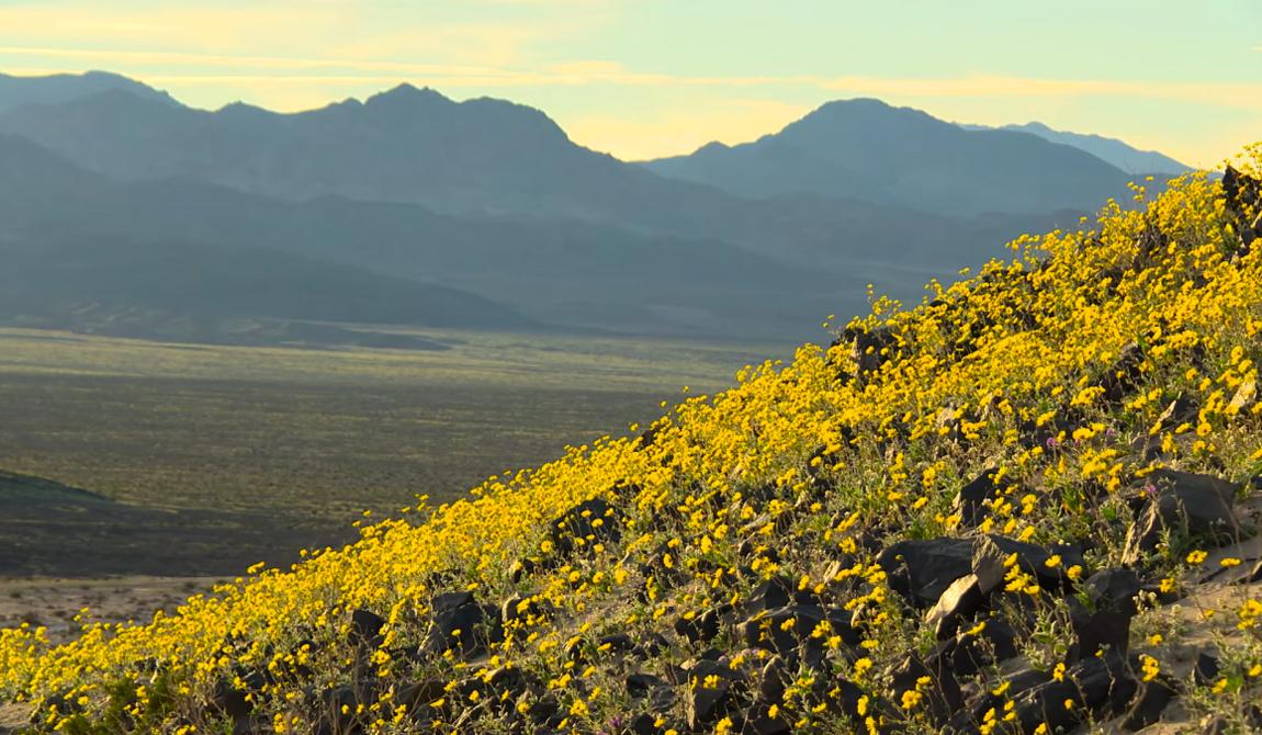 Уникальное цветение Долины Смерти