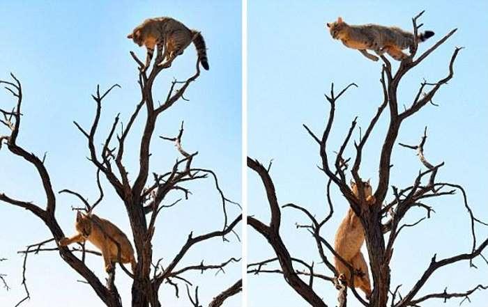кошка спасается от рыси