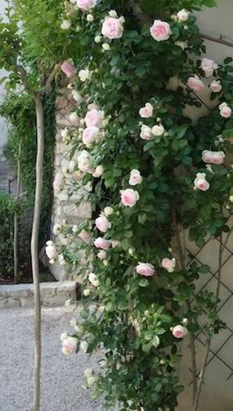 4497432_rosesingardeninspiration43 (340x600, 79Kb)