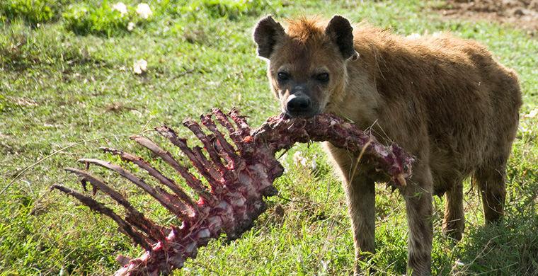 Пятнистые гиены гермафродит, животные, пол