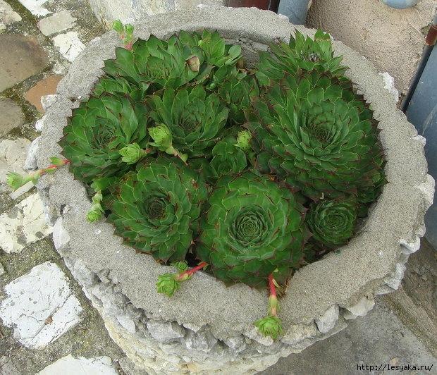 Каменный цветок фото уход в домашних условиях