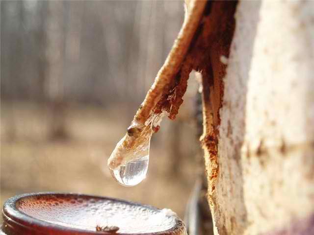 Полезный березовый сок для организма