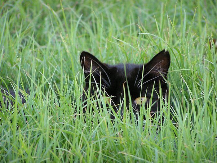 Кошки в засаде