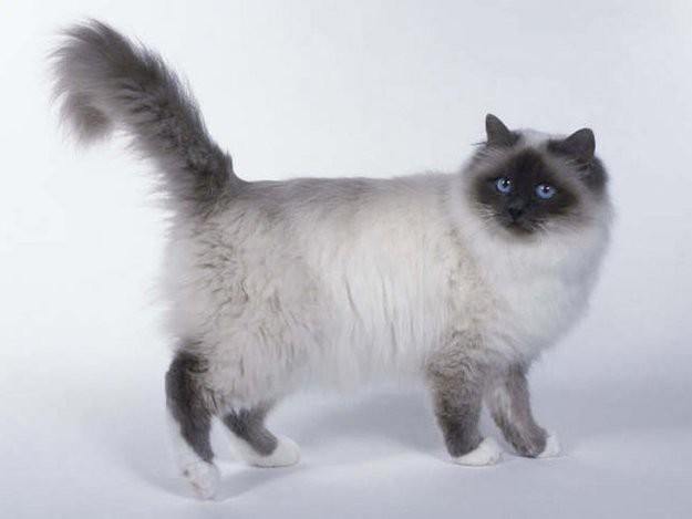 4. Бирманская кошка животные, коты