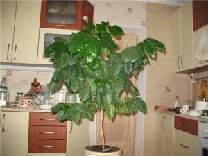 кофейное дерево в комнате