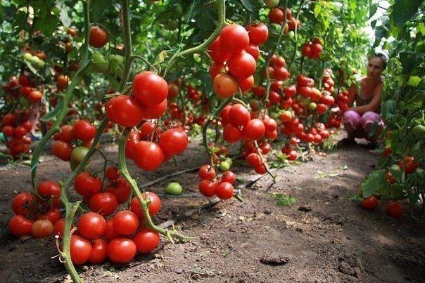 Кефир – защитник томатов