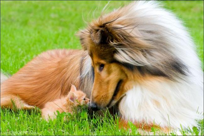 Трогательная фотоистория встречи рыжего котенка и рыжей собаки.