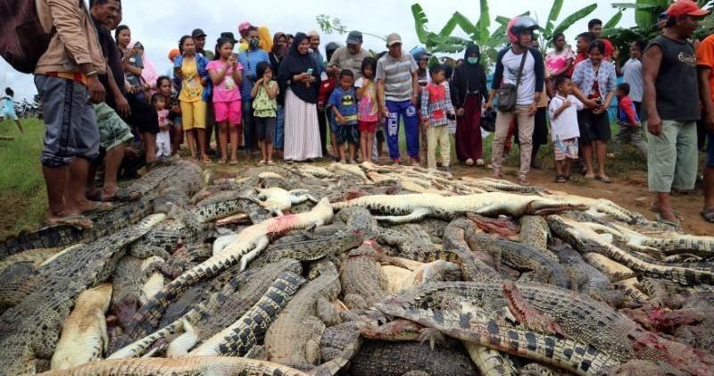 Кровь за кровь: жители Индонезии убили 292 крокодила, чтобы отомстить за смерть земляка