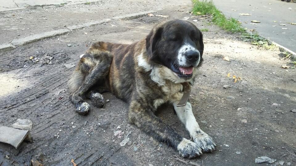 Милый, преданный пес-алабай ждет доброго хозяина
