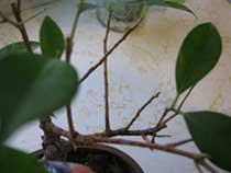 Опадение листьев фикуса Бенджамина