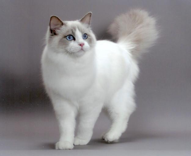 5. Рэгдолл животные, коты