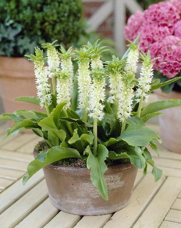 Цветы с эукомис биколор