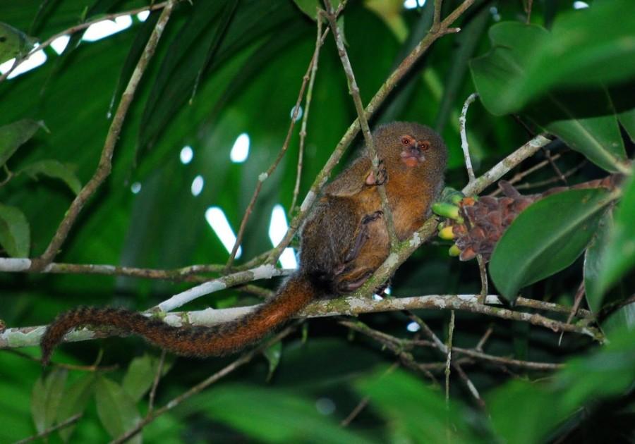 Карликовая мартышка – самая маленькая обезьянка