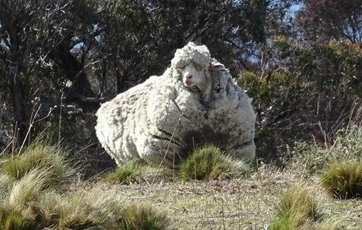 В Австралии с заблудшей овцы состригли 40 кг шерсти!