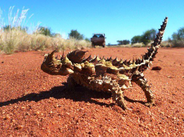 23. Молох (Thorny dragon) животные, факты