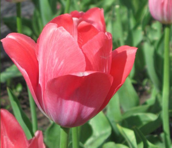 Как выбрать и вырастить красивые тюльпаны!