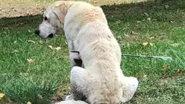 Женщина пришла в ужас, когда увидела, что её собака сидит во дворе со стрелой в боку