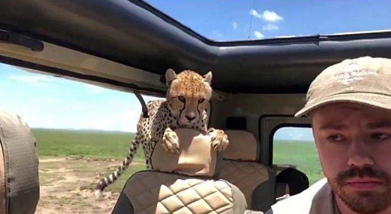 Турист проявил нехилое самообладание, когда в его джип заскочил взрослый гепард