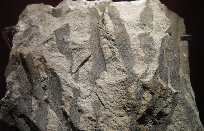 8. Первое дерево — ваттиеза животные, земля, наука, эволюция