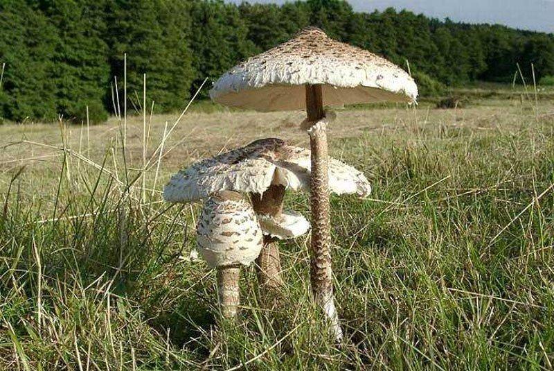Гриб-зонтик - один из самых вкусных представителей грибного царства!
