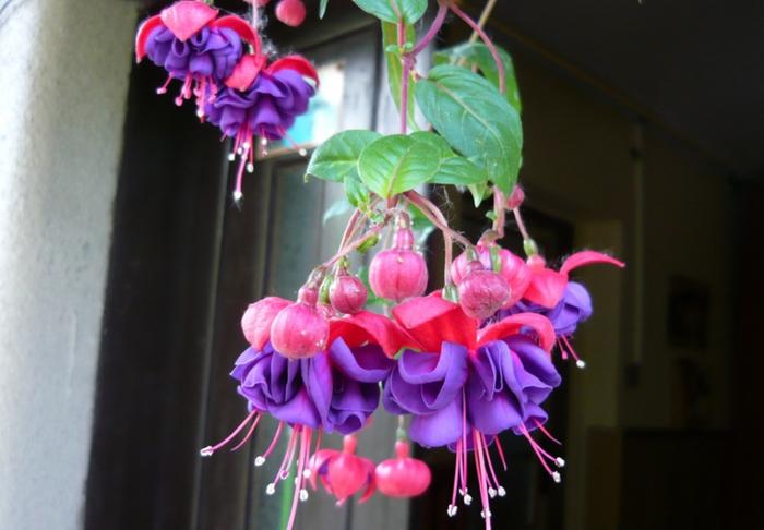 Смотреть цветка фуксии