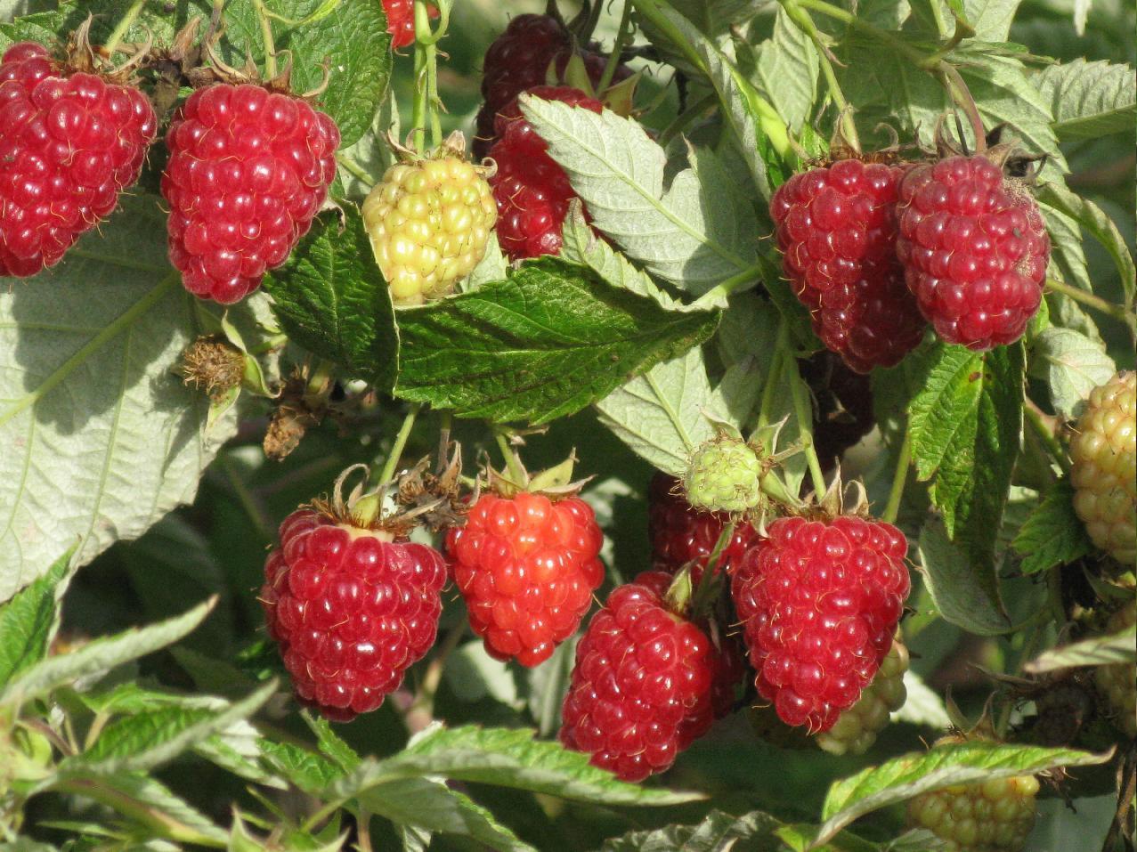 Уход за ремонтантной малиной во время плодоношения – памятка садоводу