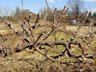 Секреты правильной осенней обрезки винограда