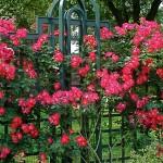 """Роза """"Dortmund"""" на заборе"""