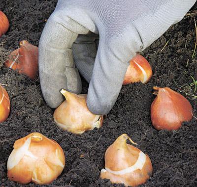 Семь секретов обильного цветения тюльпанов