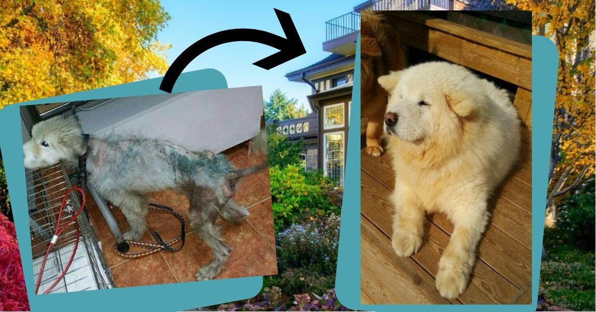 Пса без шерсти отобрали у владельца прямо на улице. Посмотрите, в какого шикарного самоеда он превратился!