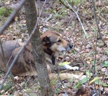 Собаке, охранявшей в лесу погибшего хозяина, нашли новый дом