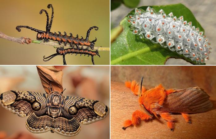 10 необычных превращений гусениц в мотыльков.