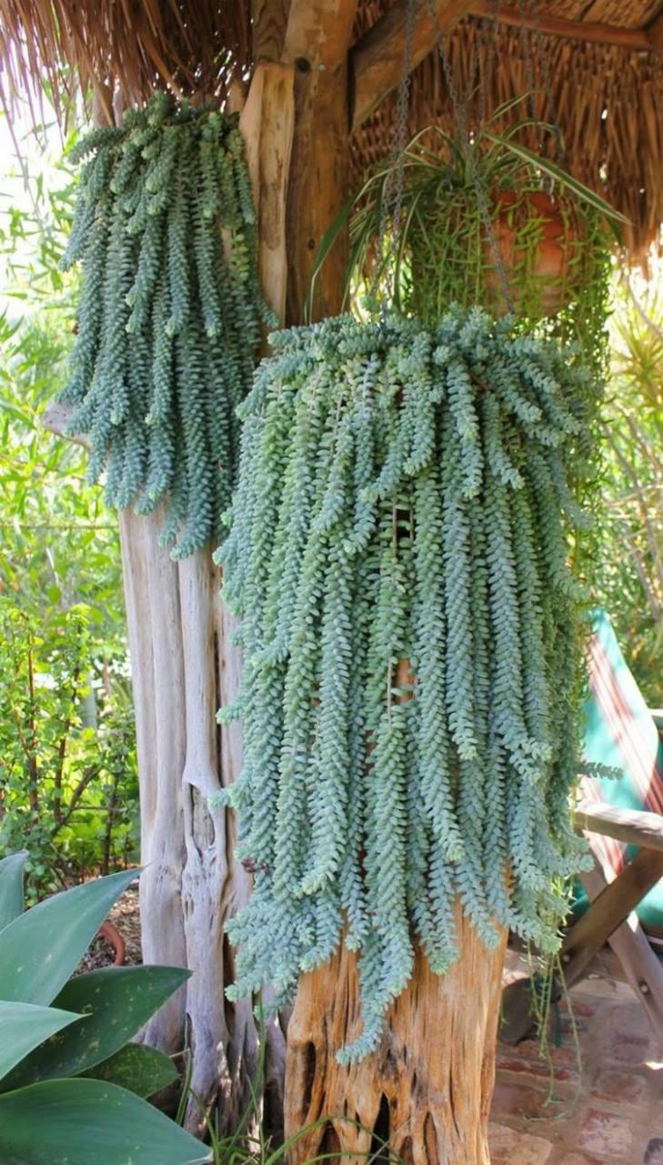3. Седум Моргана (ослиный или обезьяний хвост) дом, растения
