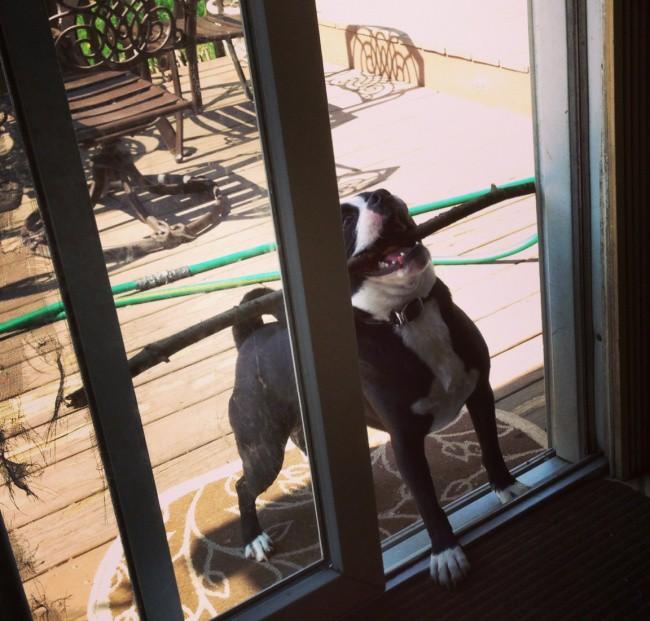 Пес радуется, что он нашел самую большую палку животные, коты, юмор