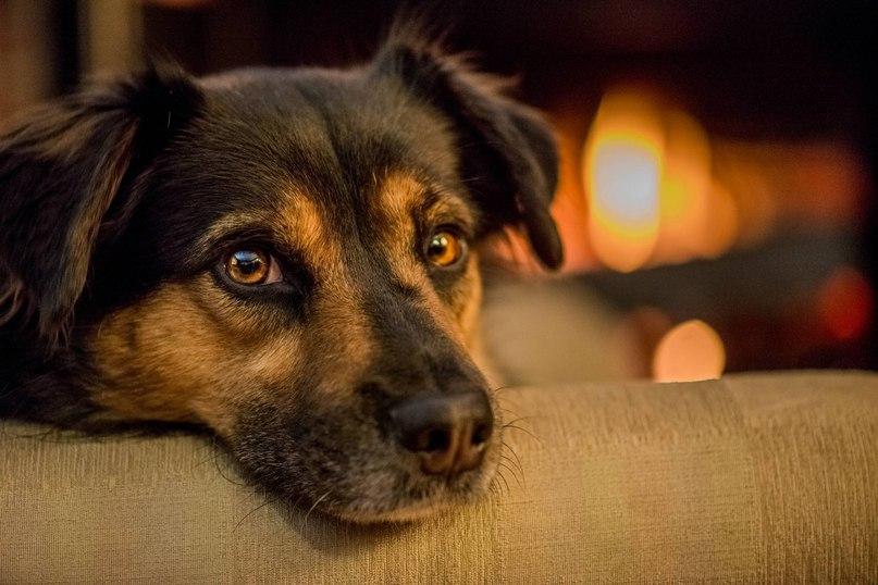 Собаки становились лучшим другом человека дважды