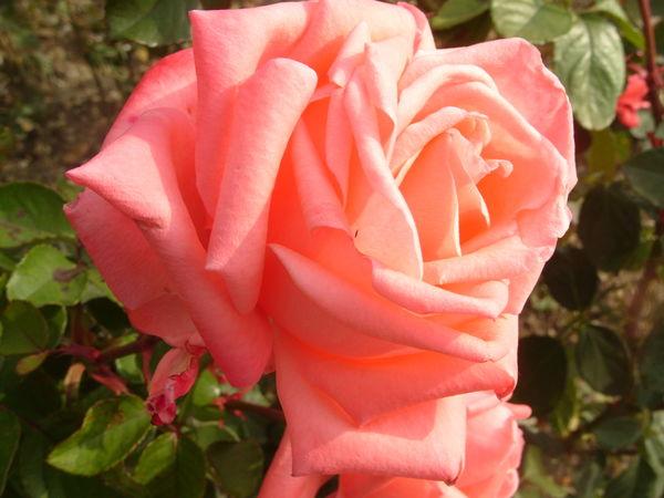 В ноябре цветет роза сорт Dolce Vita