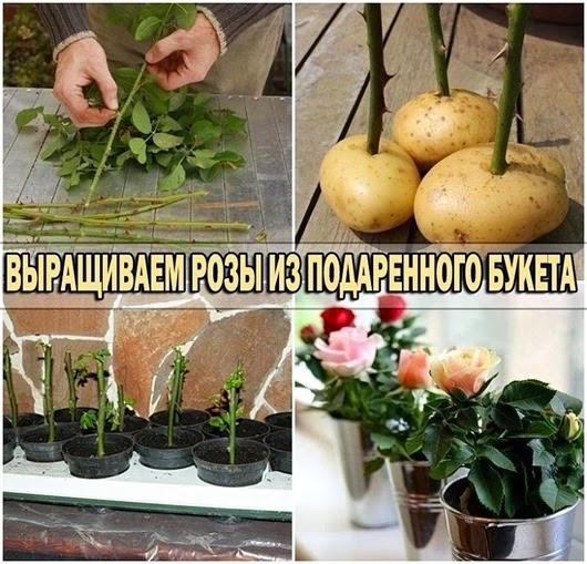 Выращиваем розы из букета