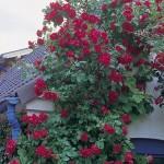 """Роза """"Flammentanz"""" на стене"""
