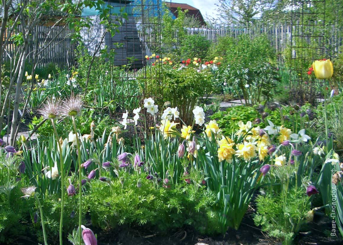 Выращивание луковичных в своём саду