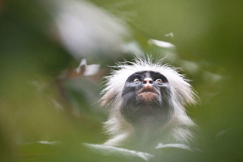 Также стоящий на грани исчезновения красный колобус на Занзибаре животные, искусство, планета земля, природа, фото, хрупкость