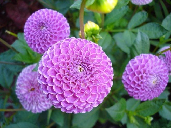 Георгины- это цветы, которые очень легко размножаются (из моего.... . Обои для рабочего стола