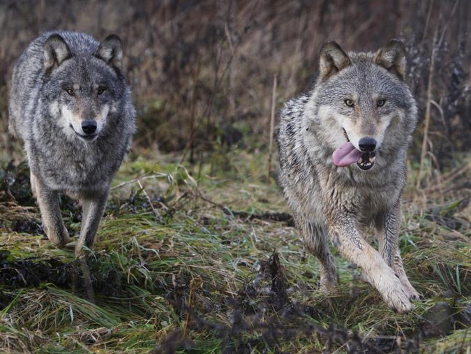 """Старый волк-рецидивист на пару с бездомной собакой """"гастролируют"""" в окрестностях Кандалакши"""