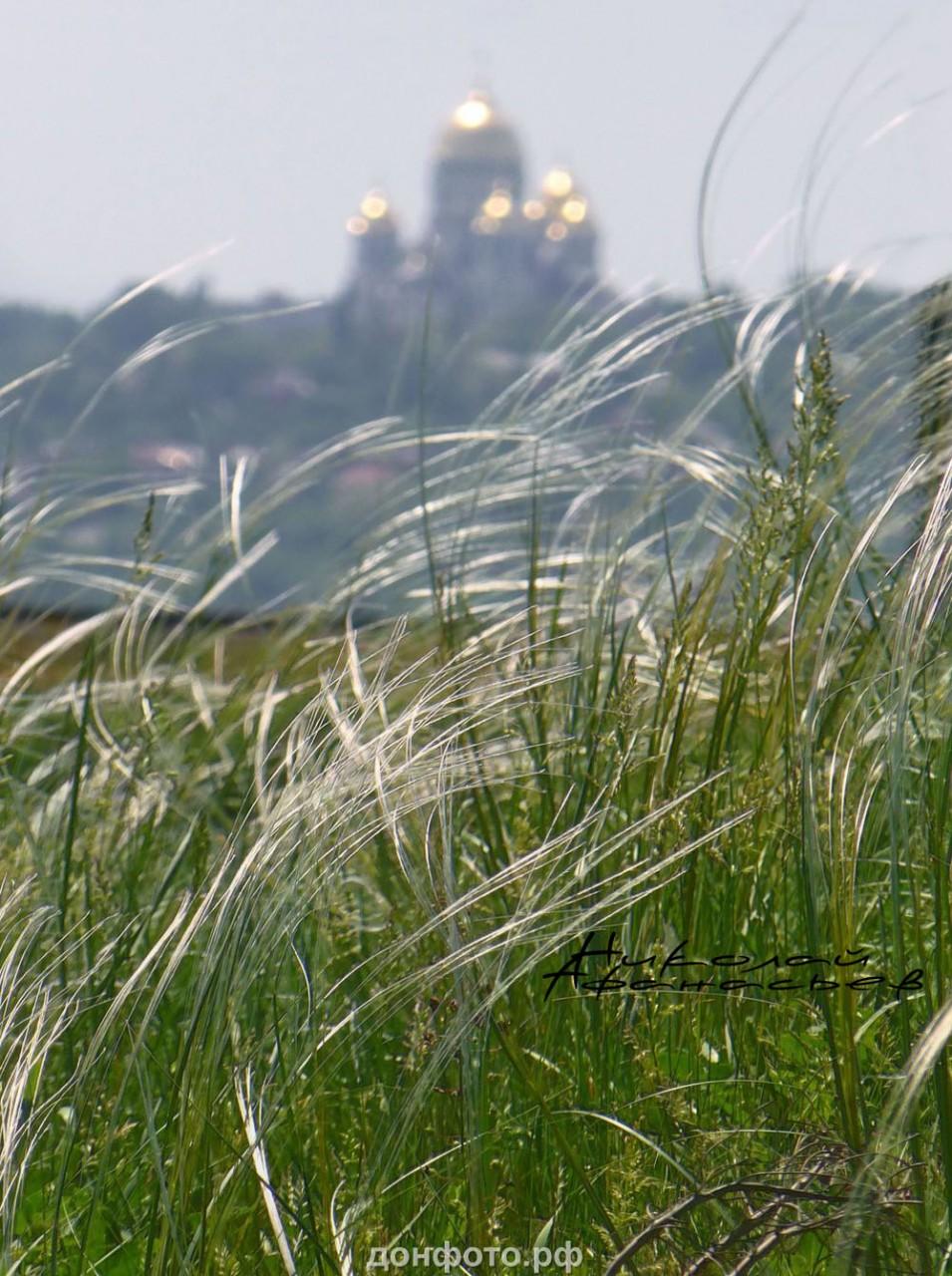 ковыль в степях Новочеркасска