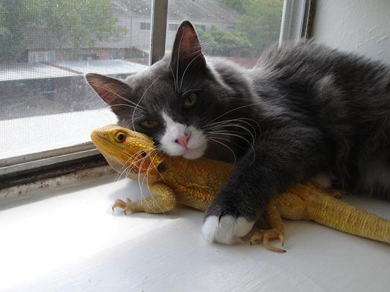 Кошка нашла друга в лице ящерицы