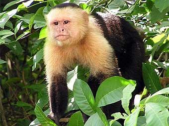 У обезьян обнаружили способность к обману